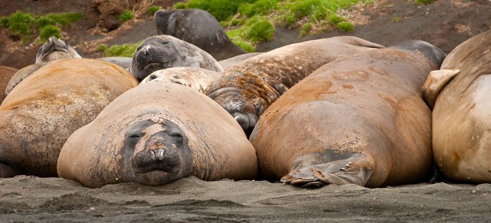 There are no bikini diets for the elephant seals on Macquarie Island.
