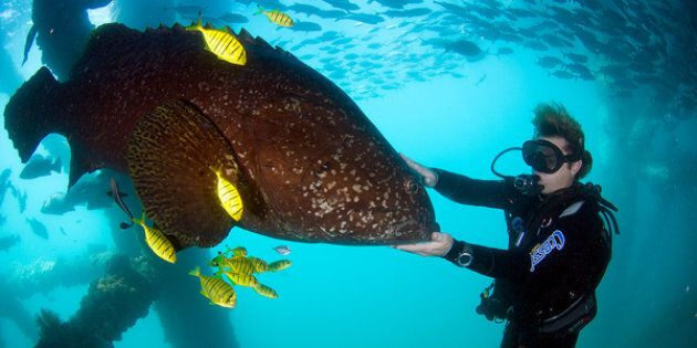 A large potato cod lurks below the navy base.