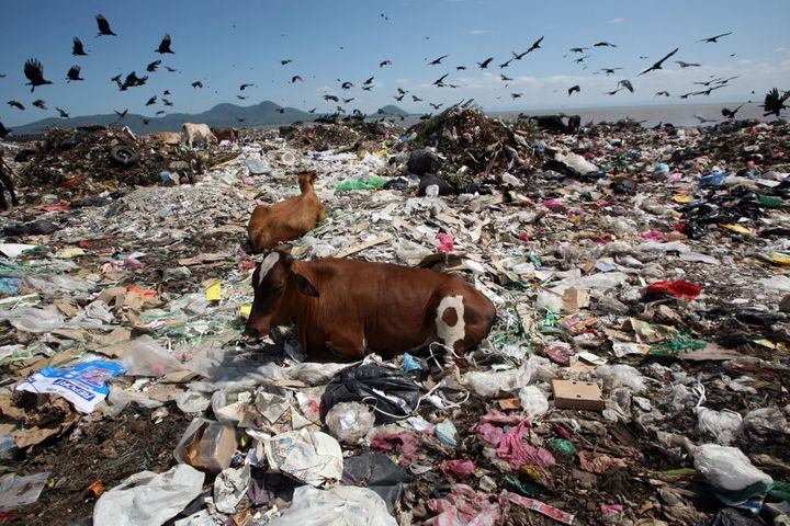 """Two cows rest while birds fly overhead in search of food at the Managua's municipal garbage dump, known as """"La Chureca"""" in Nicaragua."""