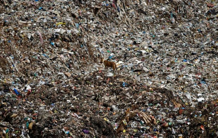 A stray dog stands on a mound of garbage at a landfill site on the outskirts of Bangalore, India.