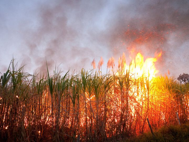 Sugarcane has been traditionally burned before harvest.
