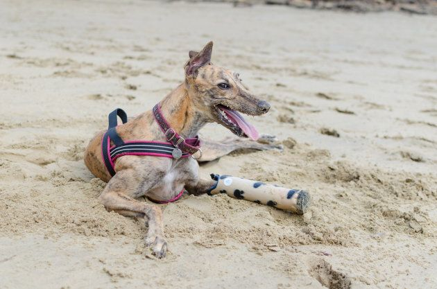 Millie The Dog : Australia's First Pup To Receive a 3D Printed Prosthetic