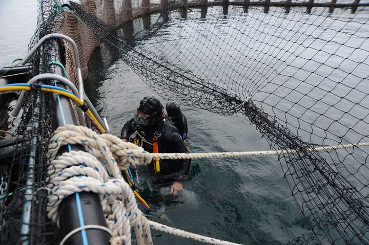 A diver returns from inspecting broken netting in a salmon pen at Huon Aquaculture Co.'s salmon farm at Hideaway Bay, Tasmania.