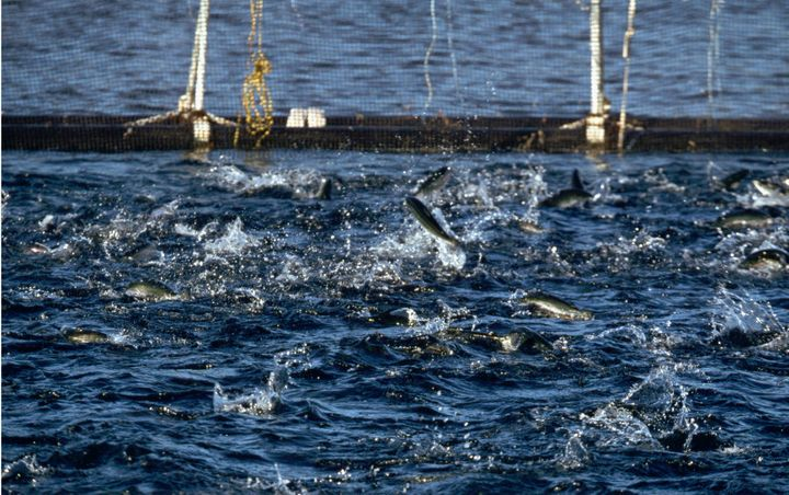 Young salmon break the water's surface as they rush for fish meal pellets fired from an air gun. Port Temperance, Dover, Tasmania, Australia.
