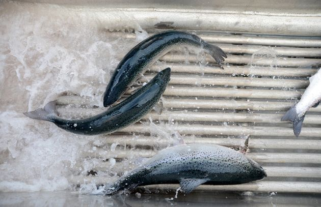 Salmon pass through a shower of fresh water, a process for preventing amoebic gill disease, at Huon Aquaculture...
