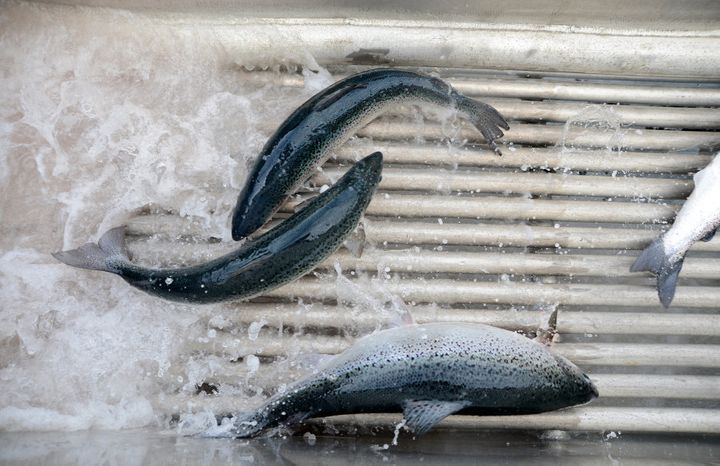 Salmon pass through a shower of fresh water, a process for preventing amoebic gill disease, at Huon Aquaculture Co.'s salmon farm at Hideaway Bay, Tasmania.