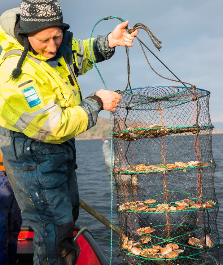 Integrated multi-trophic aquaculture (IMTA) includes the growing of scallops, oysters, mussels, urchins and seaweed around intensive salmon farms.