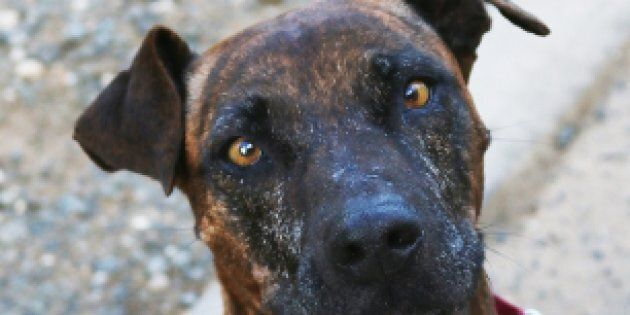 Why Staffys Are The Least Popular Dog For Adoption
