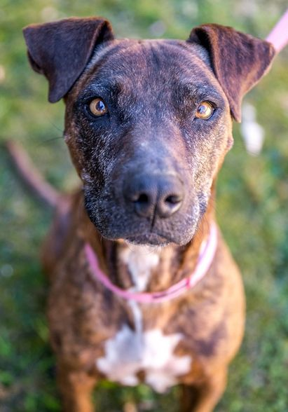 Shady the ten year old Staffy is waiting for her 'forever home.'  Contact the Animal Welfare League NSW if you can rescue her.