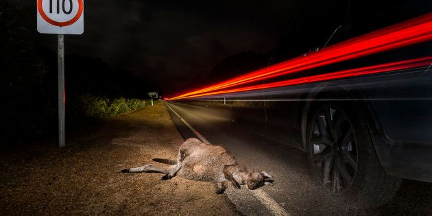 Despite the well-known fact that kangaroos are most active between dusk and dawn, there are no dusk to...