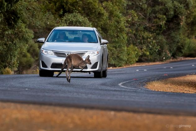 Kangaroos often jump out from the roadside bush into oncoming traffic... but don't worry, this one was