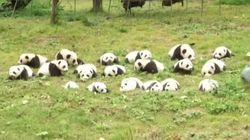 No Less Than 36 Panda Cubs Make Their Public Debut In