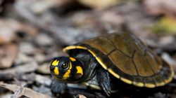 Thousands Of Baby River Turtles Released Into The Wild In The