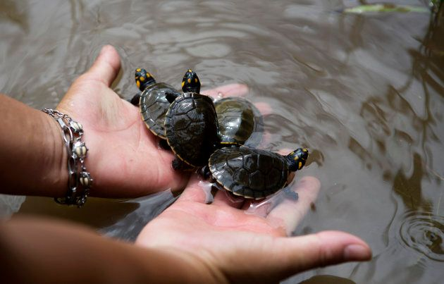 The Quelonios turtle hatchlings were released into a lake in the