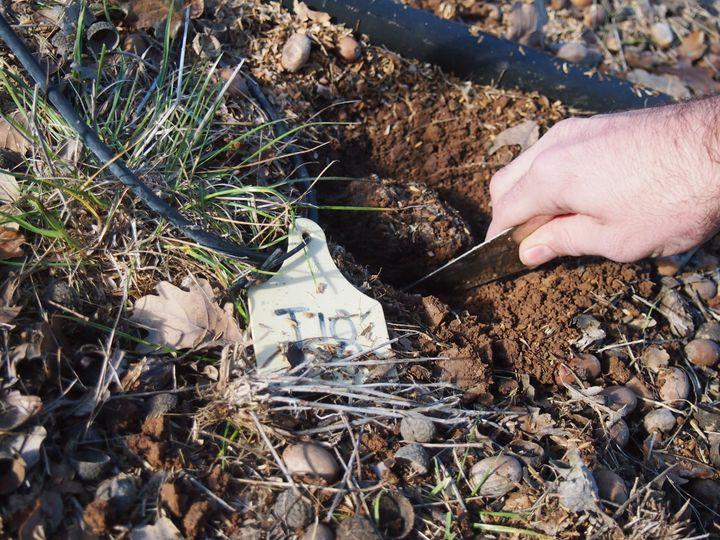 Digging for truffles.