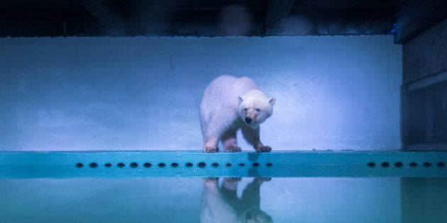 A sad polar bear that captured the world's attention is being moved back to his