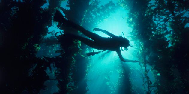 Kelp forests are at risk the world over including in Australia where it supports our local lobster