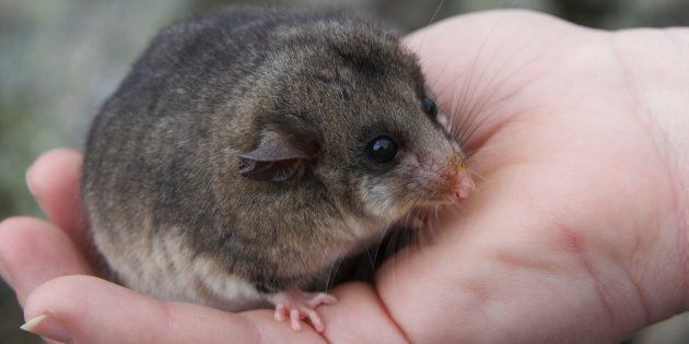 The mountain pygmy possum is so rare that until 1966 it was thought to be