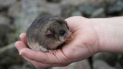 Tinder For Possums? The 'Dating' Program For Endangered Aussie