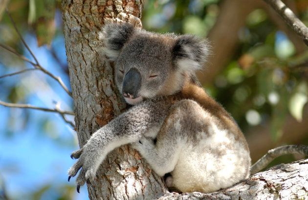 Koala populations are rapidly declining due to logging, domestic dog attacks and bush fires.
