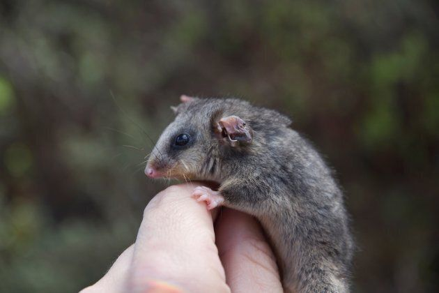 The mountain pygmy possum is the only marsupial in Australia which hibernates during the