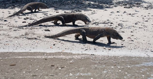 See Komodo Dragons on the beach at Horseshoe