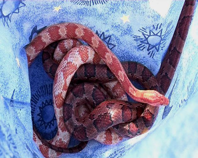 In 2009, detectives located three snakes, a chameleon, guns and drugs at a Rebels Motorcycle Club