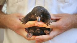 You Can't Help But Smile At These Adorable Echidna Puggles Born At Taronga