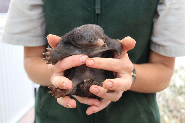Three Adorable Echidna Puggles Born At Taronga