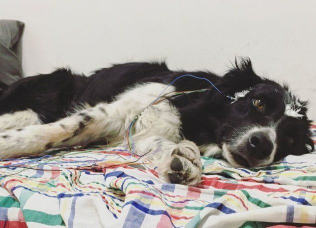 The dogs' sleep patterns were monitored using non-invasive polysomnography to record their brain waves.