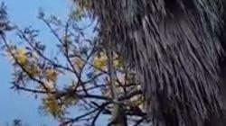 The Shocking Moment A Carpet Python Devours A Possum From Tree