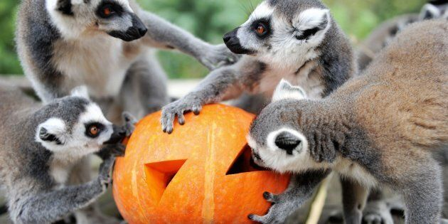 Ring-tailed lemurs eat fruit and nuts inside a special carved pumpkin before