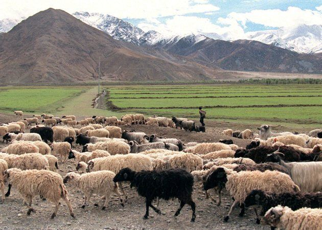 It's hard to find images for climate change stories, so here's a flock of sheep in Tibet.