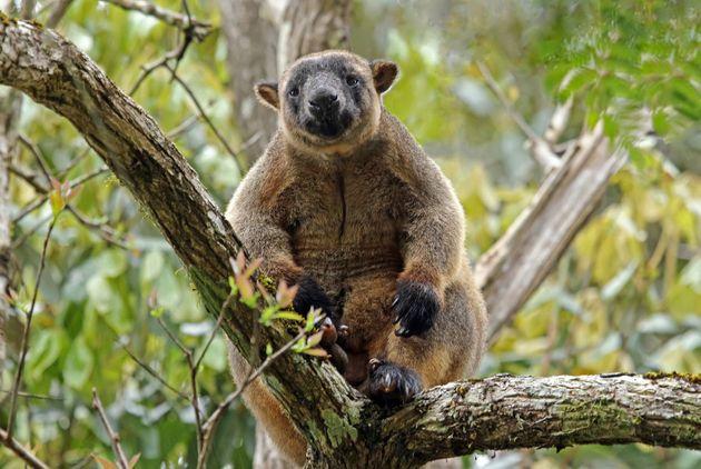 In the Atherton Tablelands, kangaroos live in