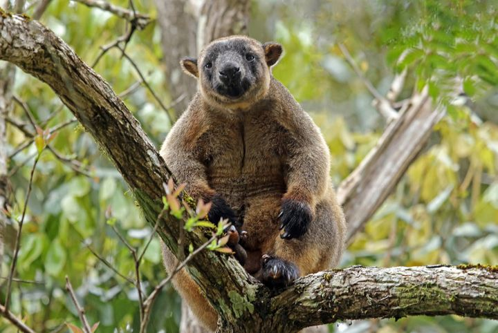 In the Atherton Tablelands, kangaroos live in trees.