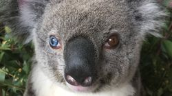 Beautiful Koala With Different Colour Eyes Rescued By Australia