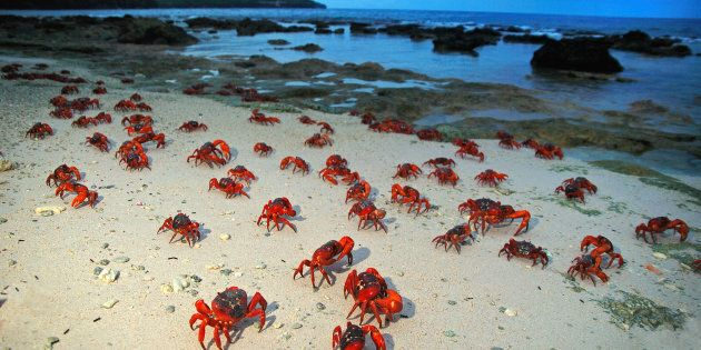Red crabs make their way to the