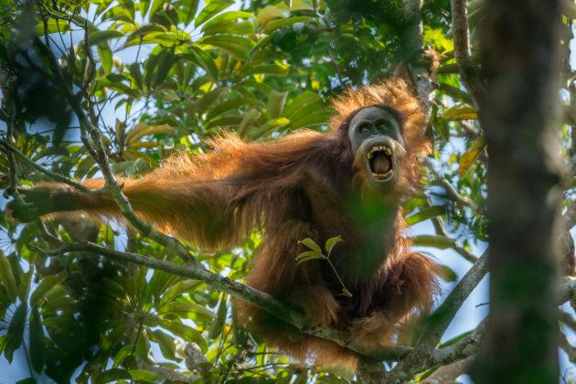 A young male Tapanuli orangutan making threatening displays towards, Togus, the resident adult male.