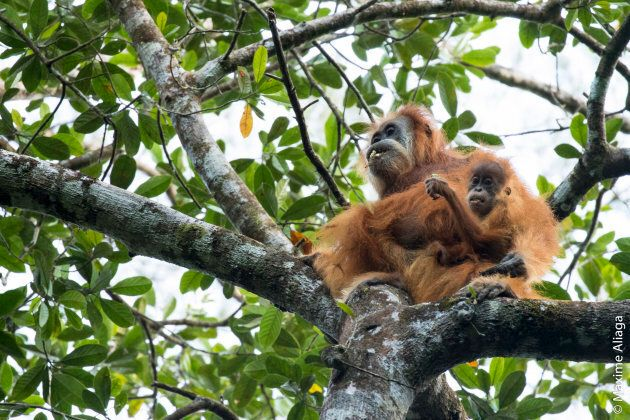 The orangutans are in urgent need of greater protections.