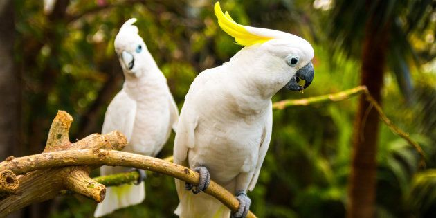 Cockatoos are causing troubles for the
