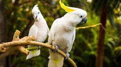 Cockatoos Blamed For Chewing Through NBN Cables Across