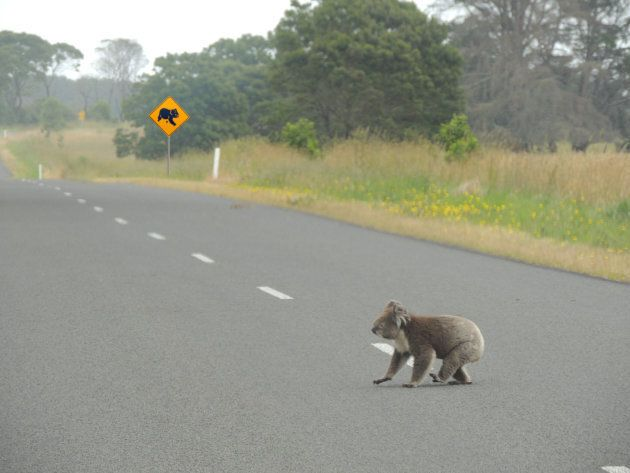 Koalas are having to travel further for food.