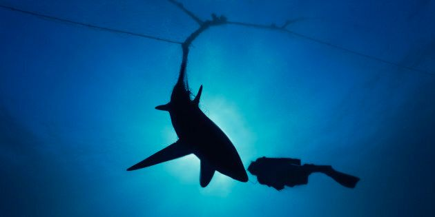 A diver checks out a shark caught in a