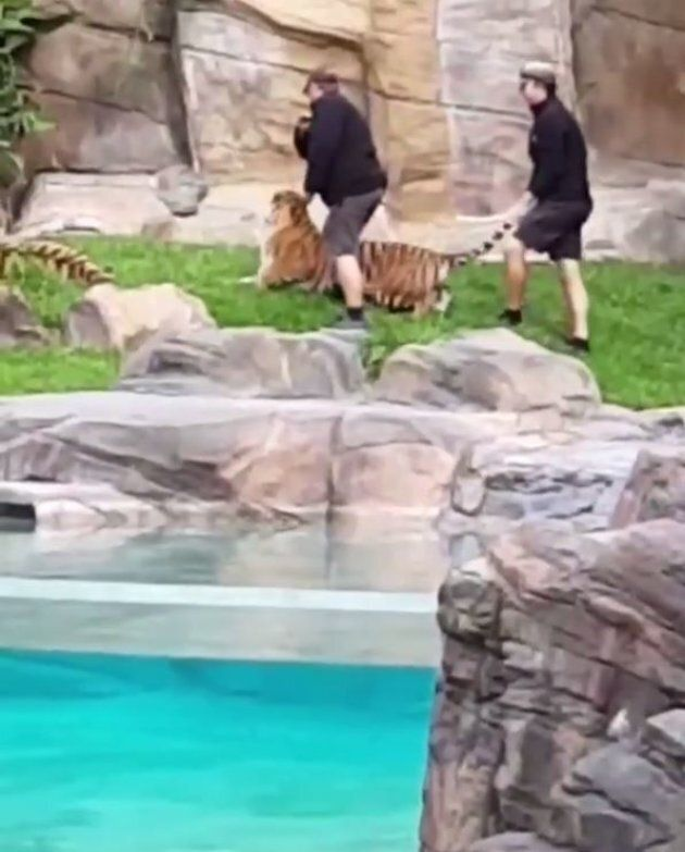 Dreamworld Defends Handler's Actions After Video Shows Tiger Being