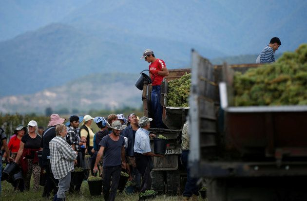 Workers load a trailer with grapes for wine during harvest in the village of Lomistsikhe, in Kakheti...
