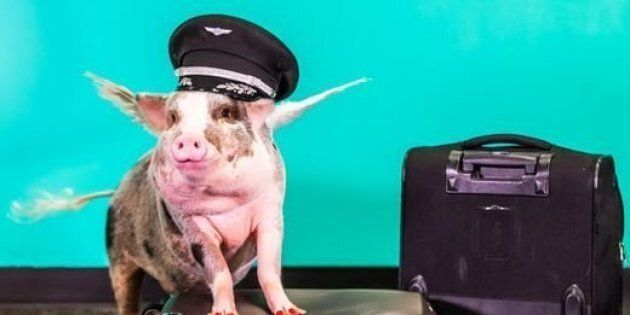 Lilou, a therapy pig, is helping de-stress visitors to San Francisco International Airport.