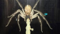 Watch This Spider Destroy A Lizard On A Living Room