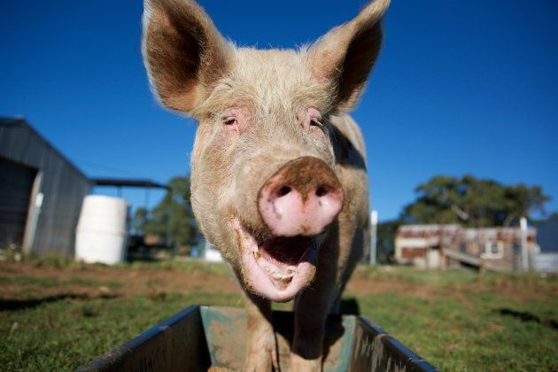 The researchers are currently using the device to locate a virus in pigs by taking samples of their
