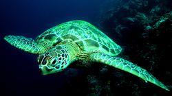 Massive Turtle Has No Idea How Awesome He