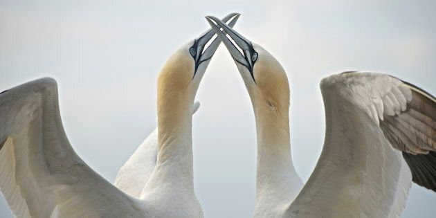 A courting pair of gannets on the Bass